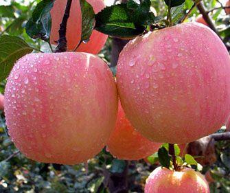 苹果醋减肥法