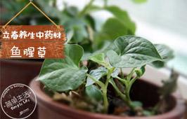 立春养生中药材:鱼腥草
