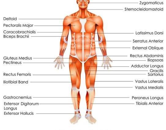 人体大肌肉群分布
