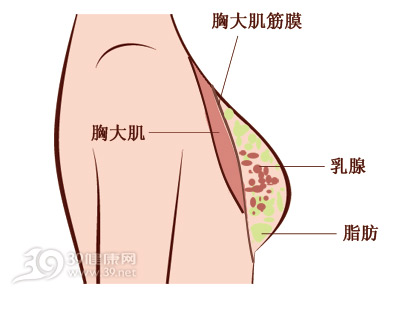 胸部结构图