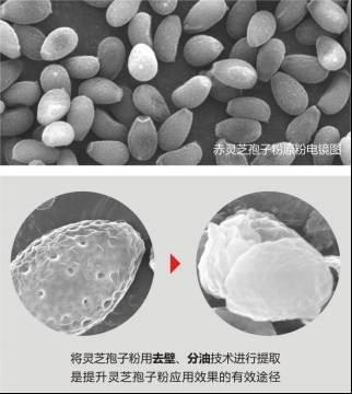 科学解析灵芝孢子粉的药用价值