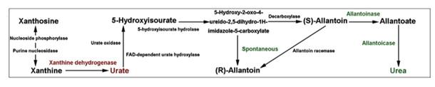 肠道菌群与尿酸.jpg