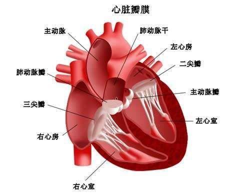 二尖瓣、主动脉瓣和三尖瓣的合并疾患