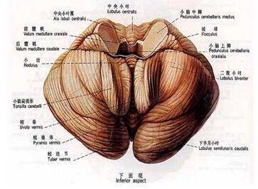 脊髓小脑变性症
