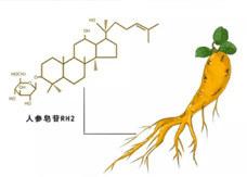 人参皂苷Rh2的药理活性
