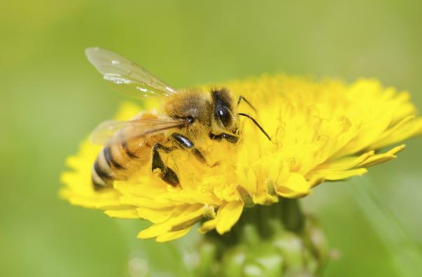 以毒攻毒!新研究:蜂毒100%杀死癌细胞,对正常细胞影响很小
