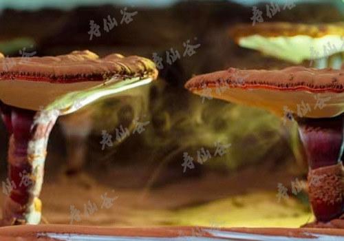 寿仙谷灵芝孢子粉为什么是去壁的?和破壁有什么不同?