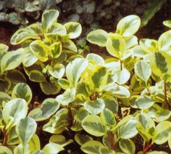 海尼豆瓣绿